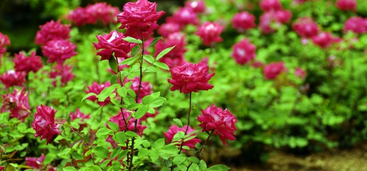 idealny-ogrod-musi-miec-roze-pnace